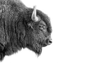bisonas