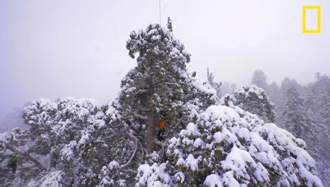 Η κορυφή της γιγάντιας Σεκόγιας «The president» καλυμμένη με χιόνι.