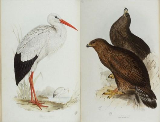 eagle_stork