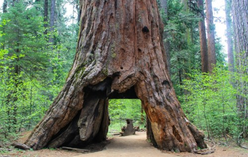 pioneer_cabin_tree