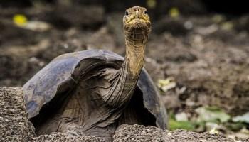 Μια μικρή χελώνα του γλυκού νερού διασχίζει το Αιγαίο – dasarxeio.com