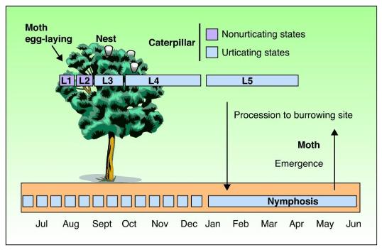 Βιολογικός κύκλος της πευκοκάμπιας (από Vega κ.ά., 2011)