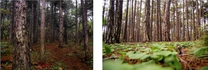 Ασθητικό δάσος Πευκιά Ξυλοκάστρου