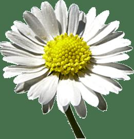 Gaensebluemchen