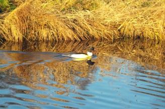 Weiße Ente mit schwarzem Rücken und schwartem Kopf. Dazu ein roter Schnabel.
