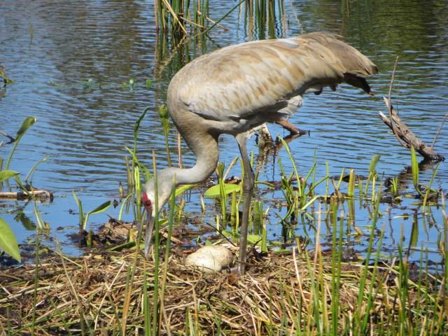Sandhill Crane and her eggs