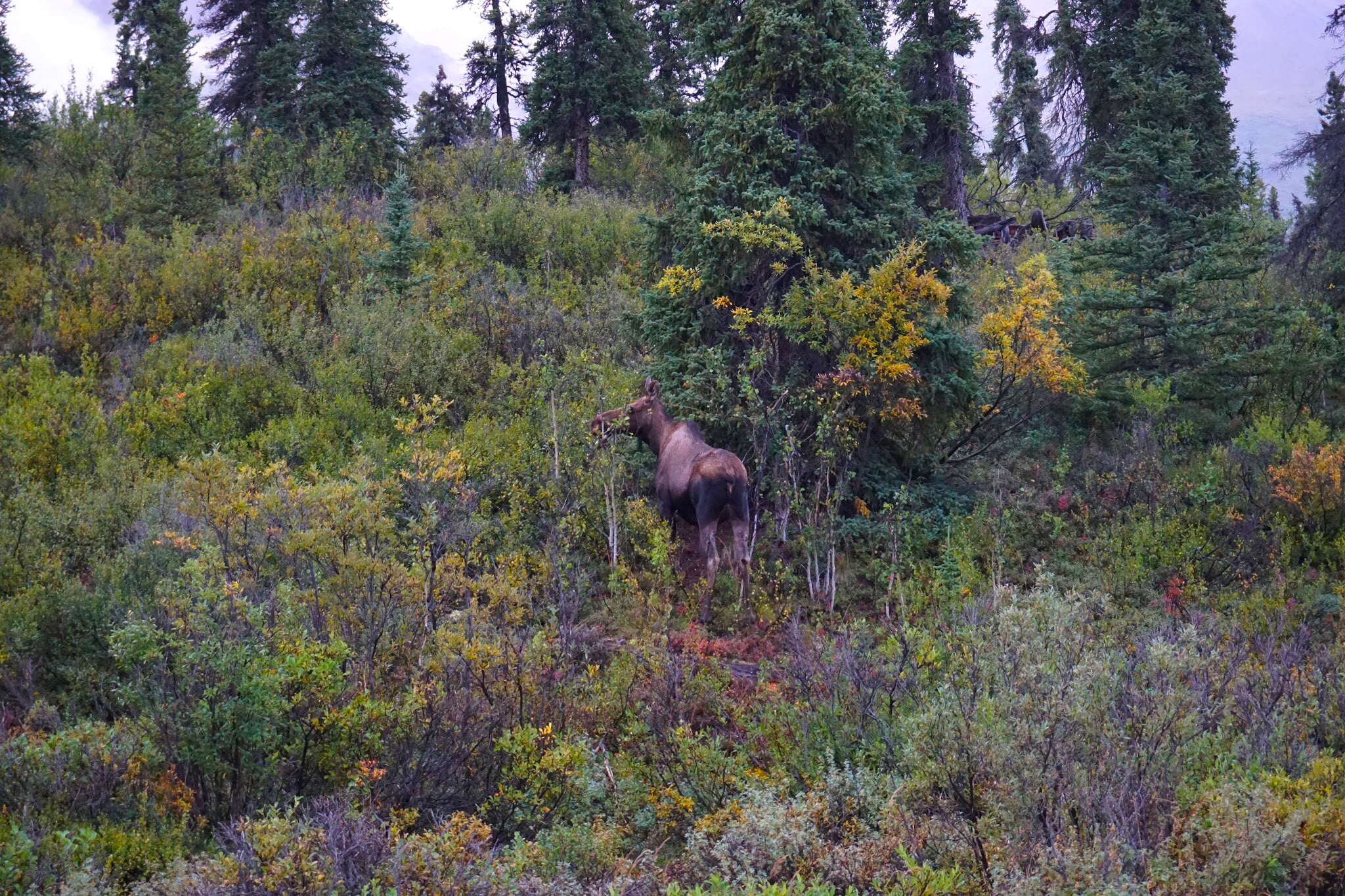 Moose in Denali National Park