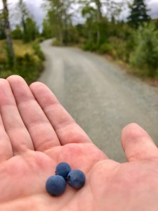 wild blueberries