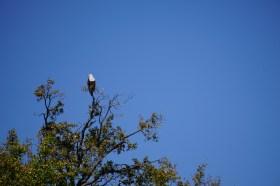 Aftrican Fish Eagle