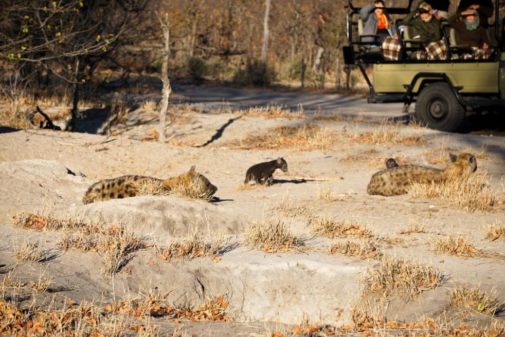 Hyena Cubs-2