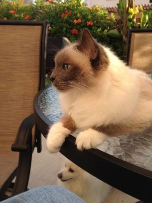 Perry The Birman
