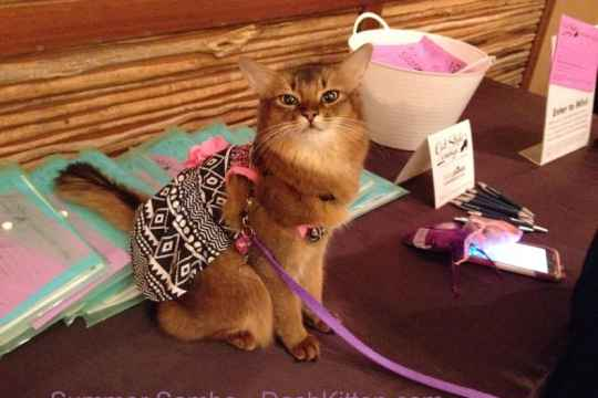 Summer Samba the blogging somali cat, visiting Blogpaws, wearing one of her pretty pink dresses and looking at the camera.