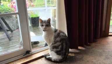 Silver Kitten Cat Picture