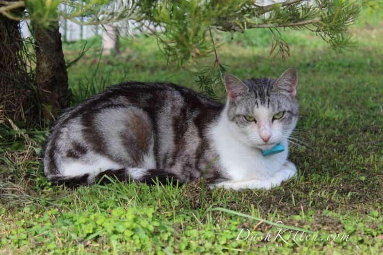 Silver the Cat Dash Kitten