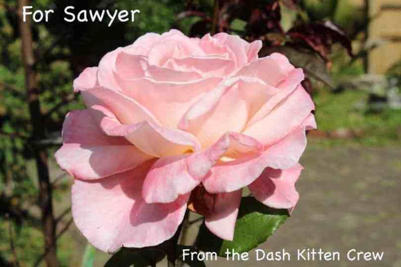 Sawyer's Rose