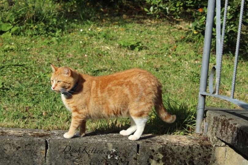 Ginger cat Portrait Angus 1