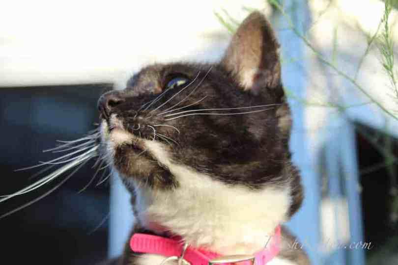 Miranda Tuxedo Cat Close-up Portraits