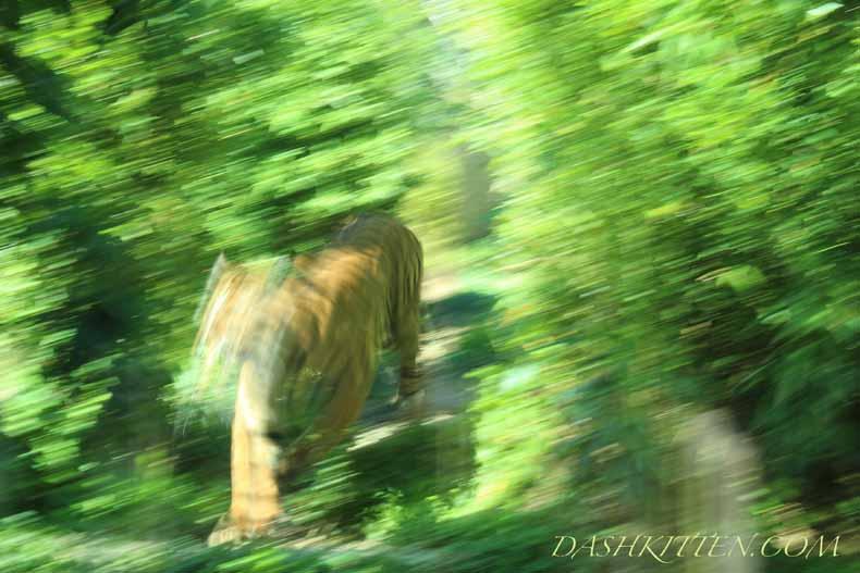 Sumatran Tiger in motion