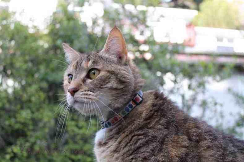 Portrait photograph of a tabby cat taken outside