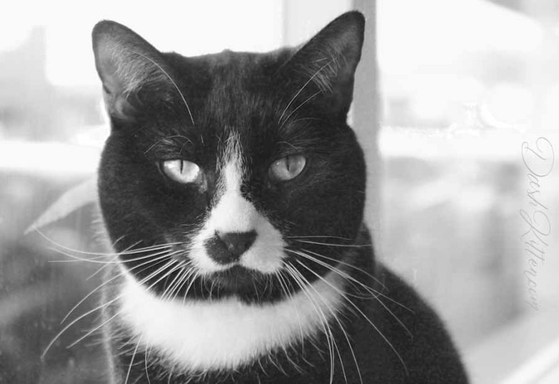 Jess the black and white tuxedo  posing in a bright window