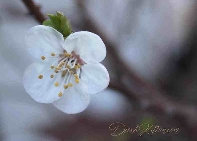 Close-up Photograph of how sharp a Spring Blossom can be