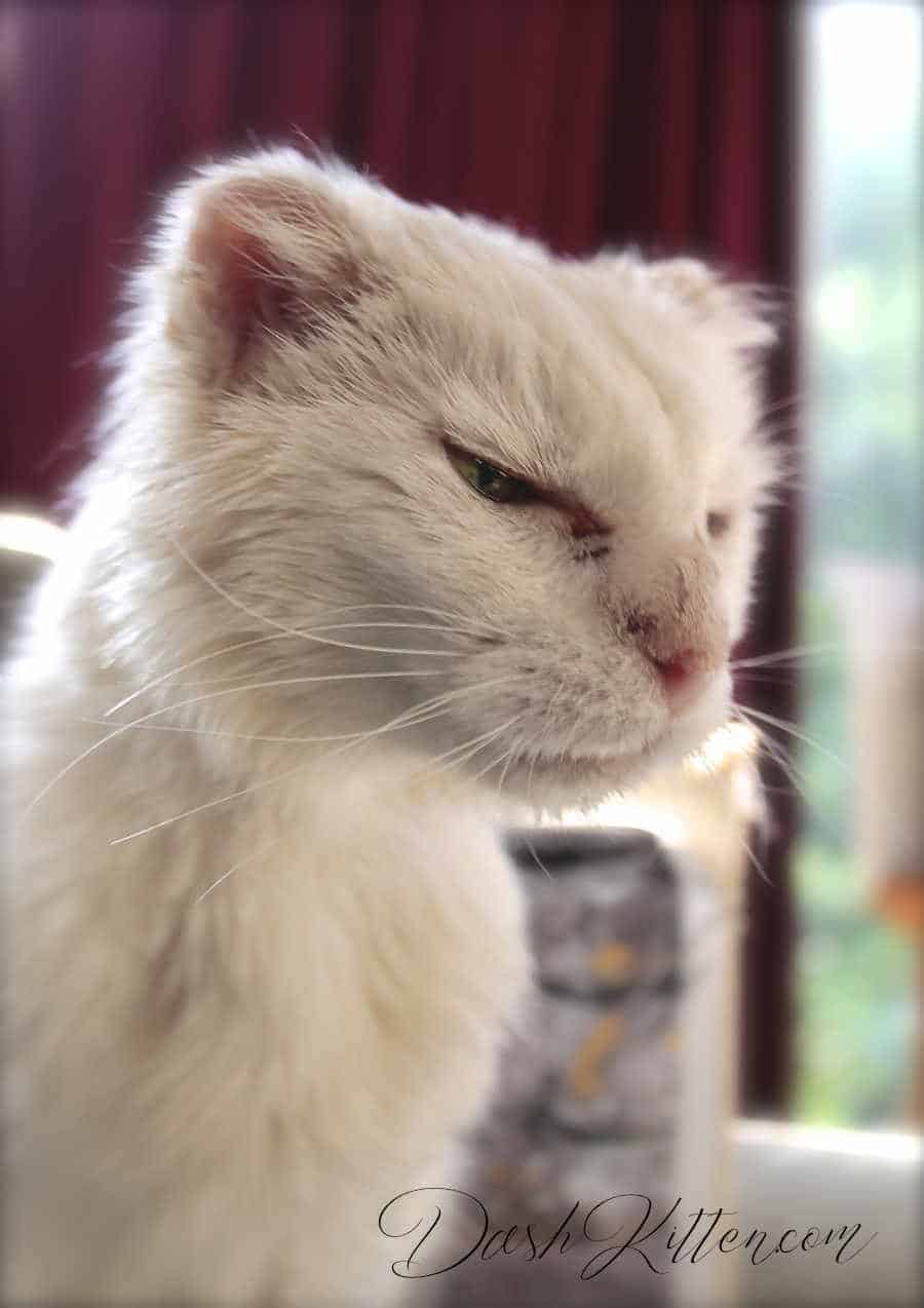 Photograph of a senior white cat sitting tall and proud