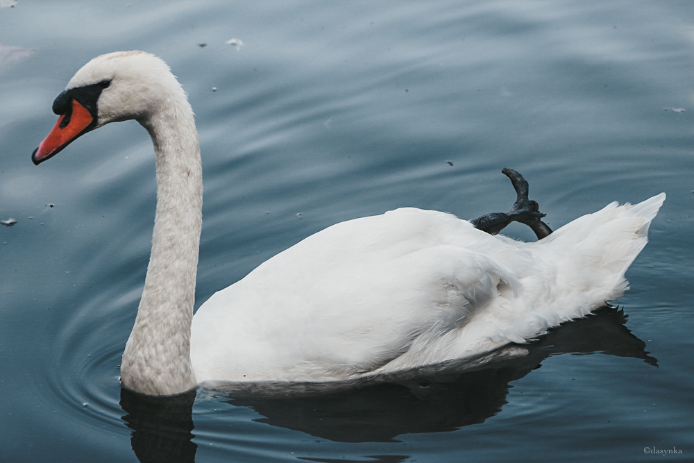 dasynka-hyde-park-fashion-blogger-nature-london-serpentine-lake-swan