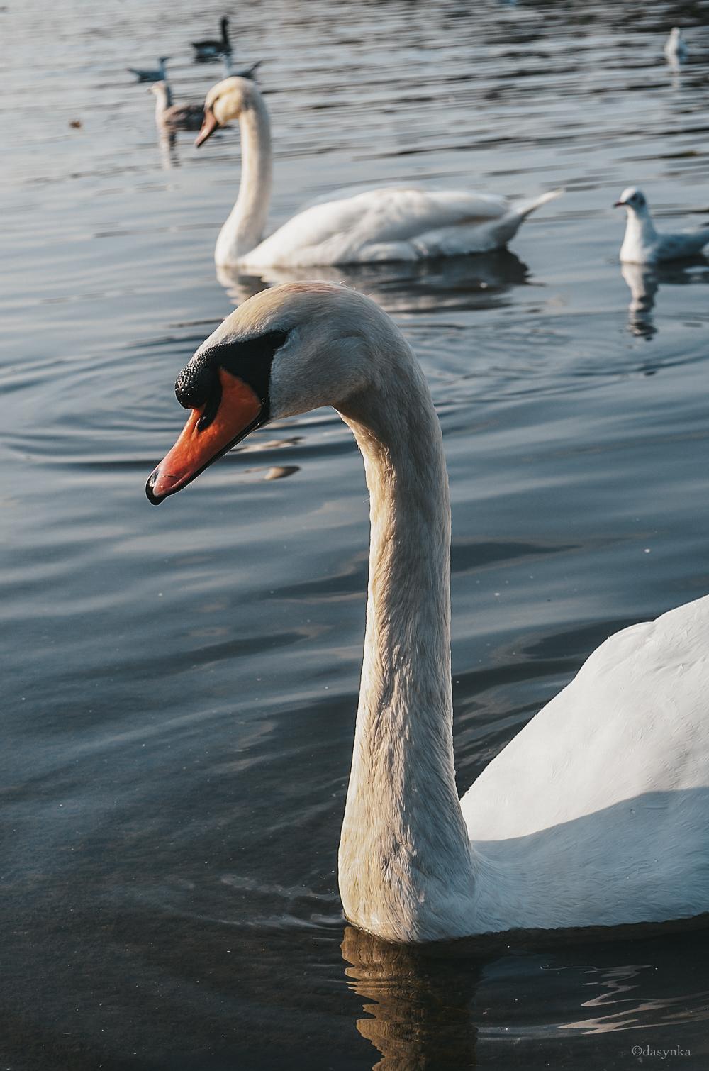 dasynka-hyde-park-fashion-blogger-london-sunset-swan