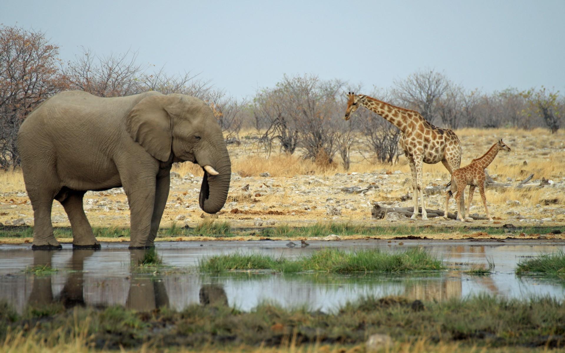 Elephant Giraffe Hd Desktop Wallpaper Widescreen High
