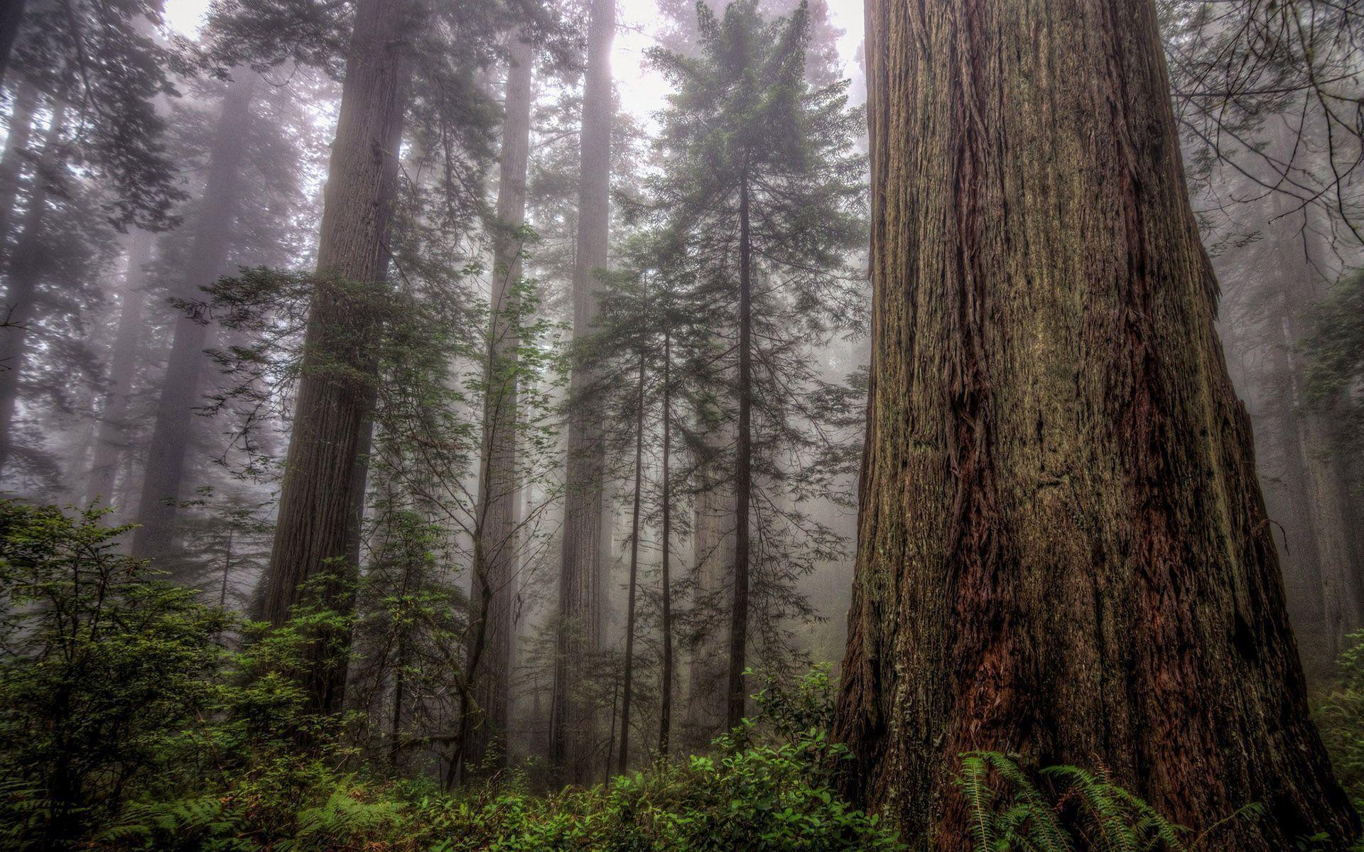 Hohe Bume Im Nebligen Wald HD Desktop Hintergrund