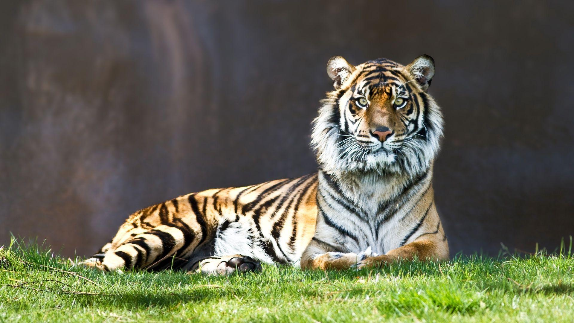 tiger sitting in the grass hd desktop wallpaper : widescreen