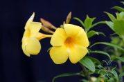 บานบุรี Allamanda cathartica L.