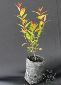 คริสตินา Syzygium australe (J.C.Wendl. ex Link) B.Hyland