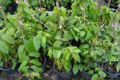 เล็บมือนาง Combretum indicum (L.) DeFilipps