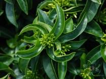 เข็มเหลืองชัชวาล Ixora spp.