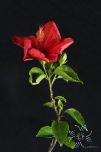 ชบาฮอลแลนด์แดง Hibicus hybrid