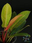 ฟิโลเดนดรอน ซันไลท์ Philodendron sp. 'Sun Light'