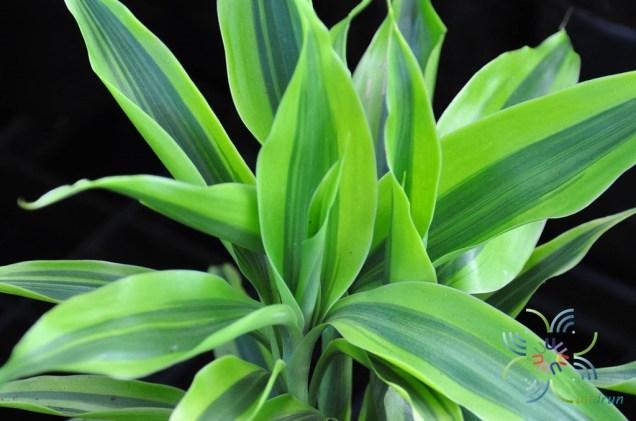 ไผ่กวนอิมด่าง Dracaena sanderiana Sander ex Mast f. variegata