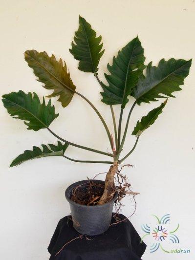 ฟิโลเดนดรอน พินนาค Philodendron spp.