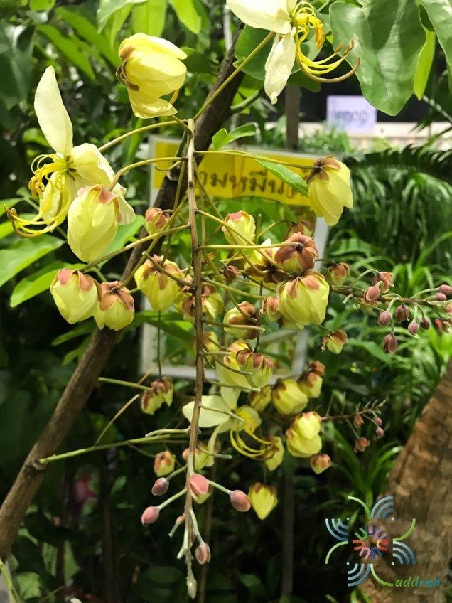 ราชพฤกษ์ ดอกขาว Cassia nealiae H.S.Irwin & Barneby