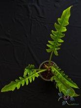 ฟิโลเดนดรอน ใบเลื่อย Philodendron spp.