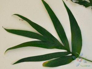 ฟิโลเดนดรอน มือเสือ Philodendron sp.