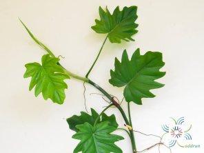ฟิโลเดนดรอน ใบองุ่น Philodendron sp.