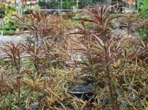 หูกระจงแดง Terminalia sp.