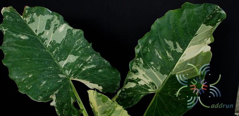 บอนกระดาดด่าง Alocasia macrorrhizos (L.) G.Don