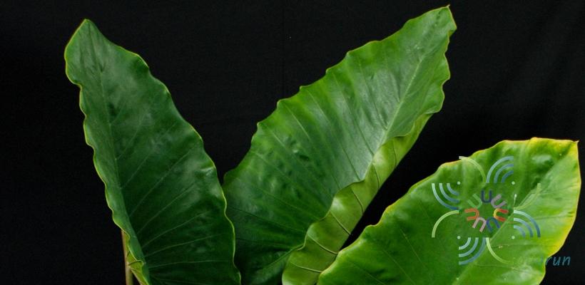 บอนกระดาดดำ Xanthosoma sagittifolium (L.) Schott