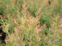 หลิวหอมแอฟริกา Juniperus sp.