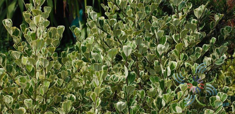 สาริกาด่าง Ficus deltoid Jack f. variegata