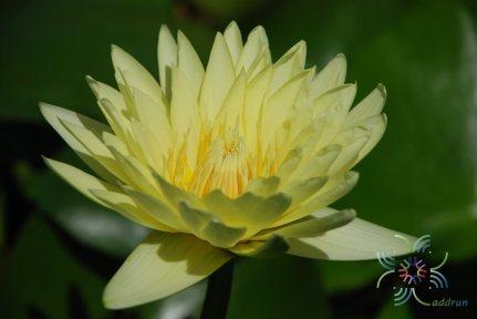 บัวฝรั่ง ชาร์ลีนสตรอน Nymphaea spp.