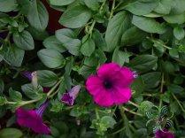 พิทูเนีย Petunia hybrida Vilm.